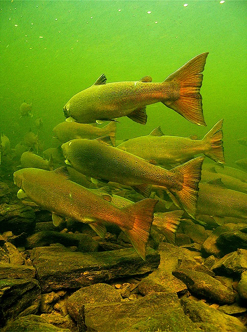St. Mary's River Atlantic salmon look forward on their mission. ​Photograph by Gilbert van Ryckevorsel.