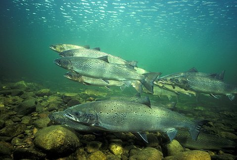 St. Mary's River Atlantic salmon - On a mission. Photograph by Gilbert van Ryckevorsel.